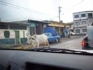 Cow in town