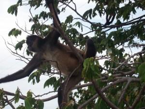 monkey in Archipielago las Isleta on Lake Nicaragua